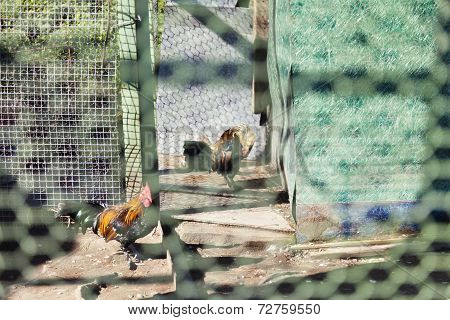 Chicken In A Cage