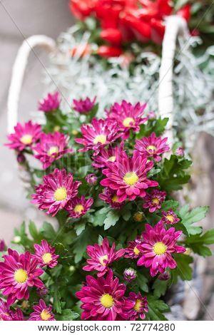 ?ink Chrysanthemum