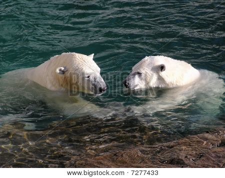 Polar Bear In Love Holding Hands