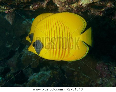 Masked Butterfly fish couple