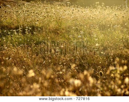 Dandelions And Queen Anne's Lace