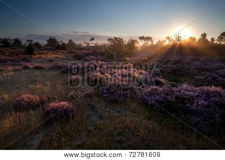 Summer Sunrise Over Pink Heather Flowers