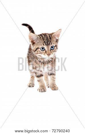Cute Tabby Kitten With Blue Eyes