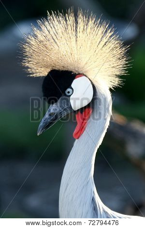Crowned Crane Bird