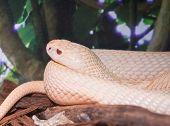 Albino Monocled cobra (Naja Kaouthia) close up poster