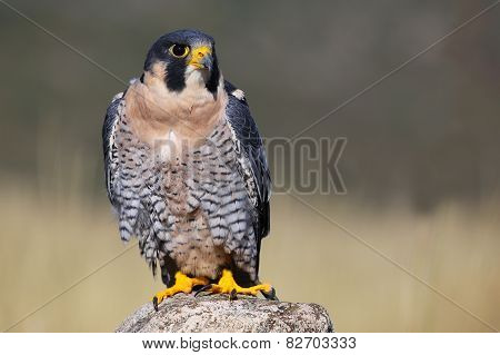 Peregrine Falcon Sitting On A Rock