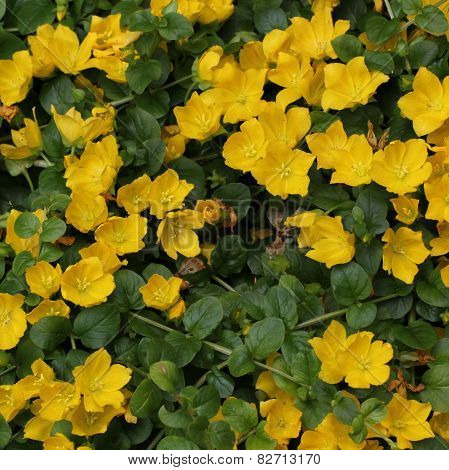 Moneywort Flower Bed