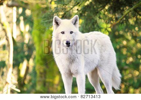 Arctic White Wolf Canis lupus arctos aka Polar Wolf or White Wolf