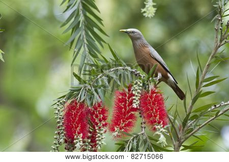 Chestnut-tailed Starling In Bardia, Nepal