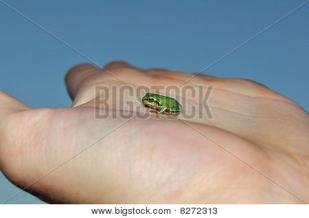 Little green European tree frog on hand