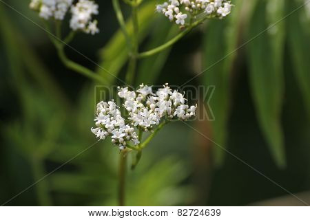 Valerian Blossoms