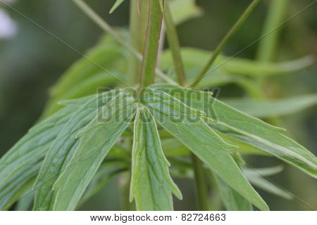 Valerian Leaves