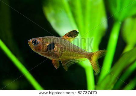 Aquarium Fish. Rosy Tetra. Nature Tank. Freshwater Tank. A Green Beautiful Planted Freshwater Aquari