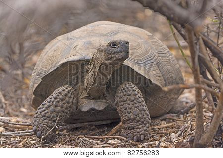 Young Giant Tortoise In The Brush