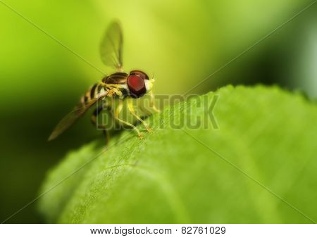 Macro Shot Of A Hover Fly In Soft Focus