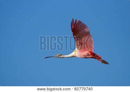 Roseate Spoonbill Flying In Blue Sky