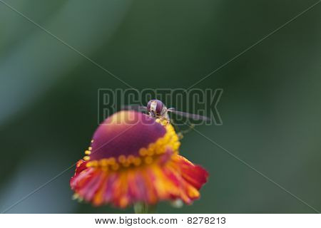 Hover fly looking behind flower