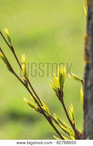 Opening Leaf Bud Of Populus