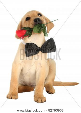 Cute Labrador Puppy With Rose