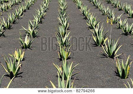 Aloe Vera Field, Lanzarote Island, Canary Islands, Spain