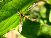 A daddy long legs insect on a leaf also known as the crane fly. poster