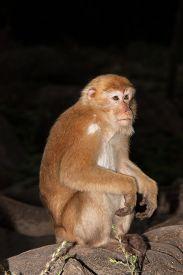 Wildlife Monkey Sitting On Stone At Night Time