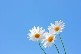 Macro Shot Of Wild Camomiles On A Blue Sky Background.