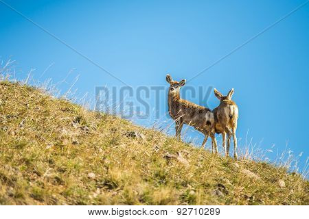 Two Young Deer Standing On Top Of Hill
