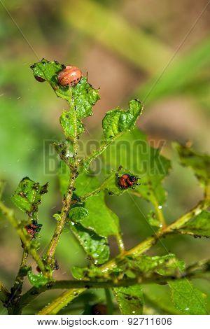 Spraying Insecticide On Colorado Potato Beetle Bugs Larvas
