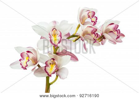 Beautiful Flower Orchid Close Up Isolated On White Background