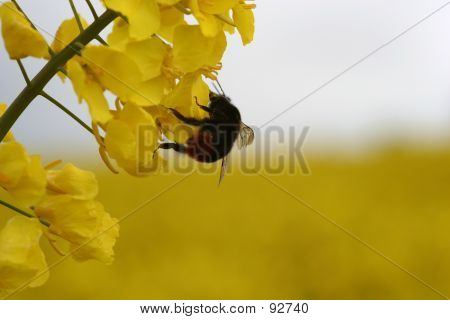 Closeup Of A Rape Plant With Bumble-Bee.