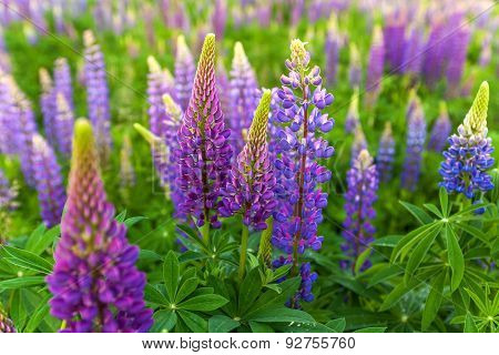 Lupin Flower, Garden Lupin, , pink, garden, wild, purple, bloom, colorful, nature