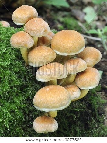 Sulphur Tuft Fungi on tree stump - Hypholoma fascicular poster