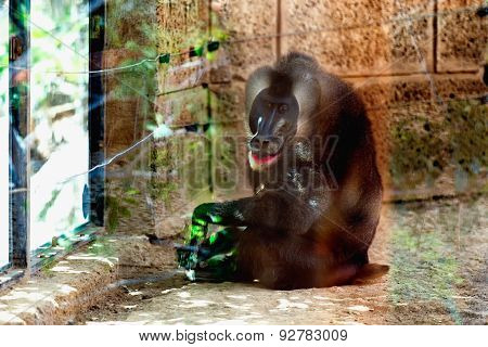 Monkey Dril In Zoo Cell