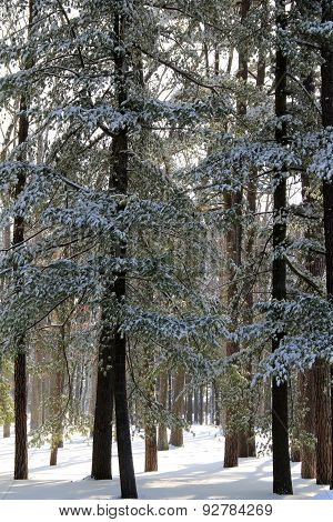 Copse of trees covered in snow