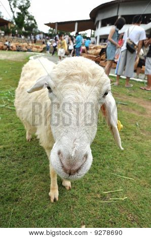 Sheep Park Grass Single