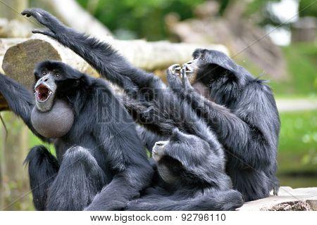 Siamang Gibbon Family Screaming