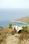 sheep with horns grazing on mountain over Agia Theodoti beach Ios cyclades greece poster