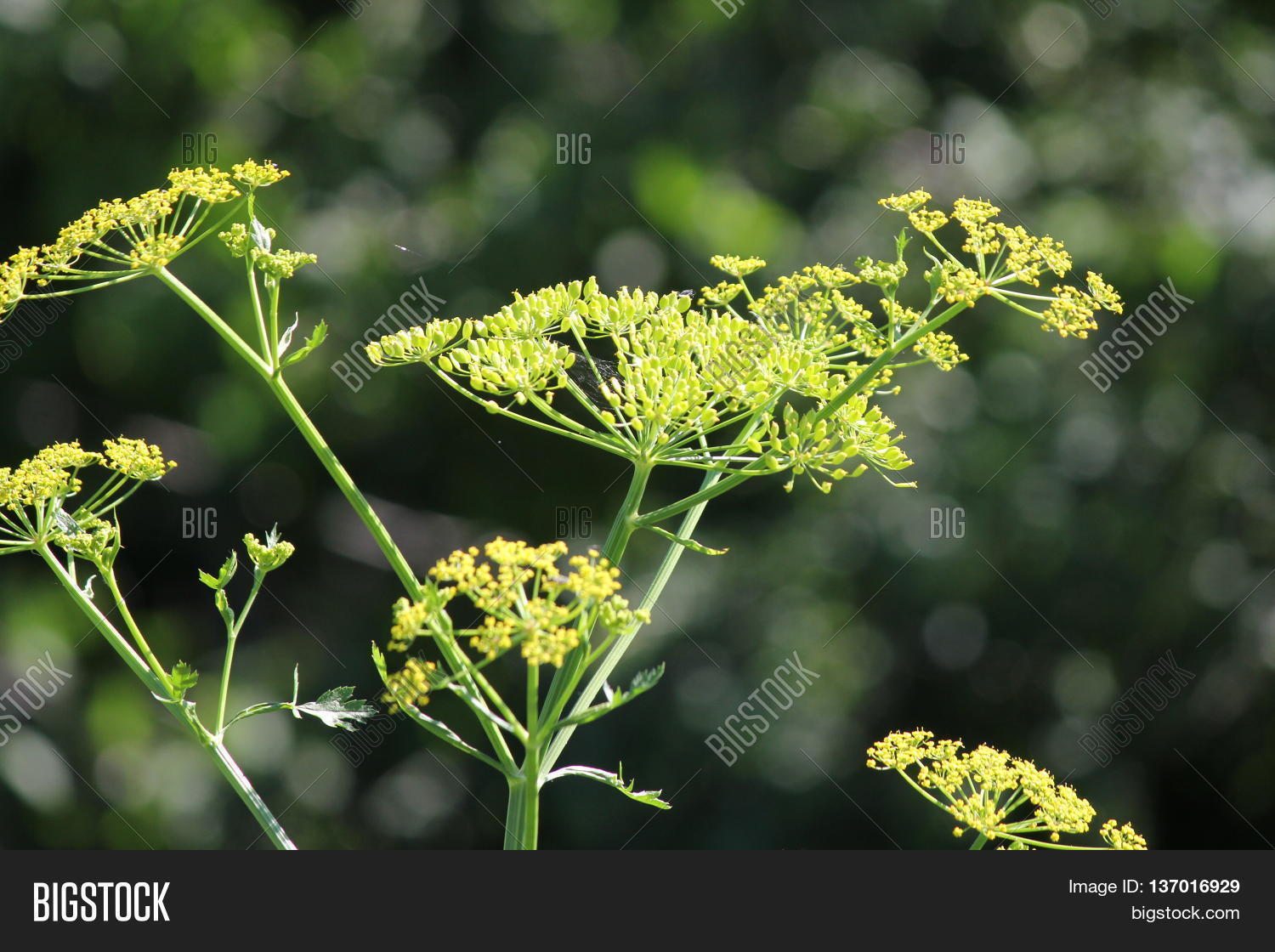 Yellow Head Seeds Image Photo Free Trial Bigstock