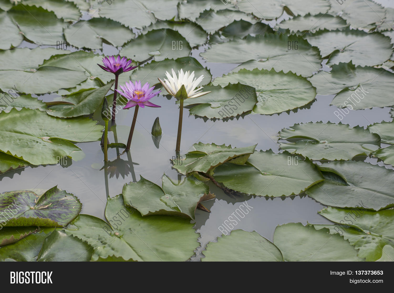 Water lily lotus image photo free trial bigstock water lily and lotus flowers growing in ponds and rivers izmirmasajfo