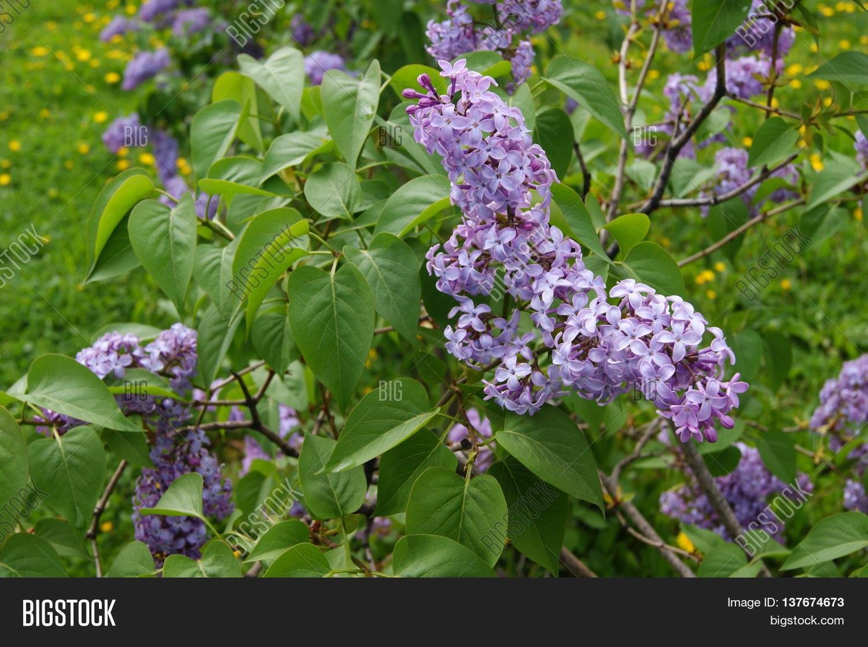 Lilac Bush Large Image Photo Free Trial Bigstock