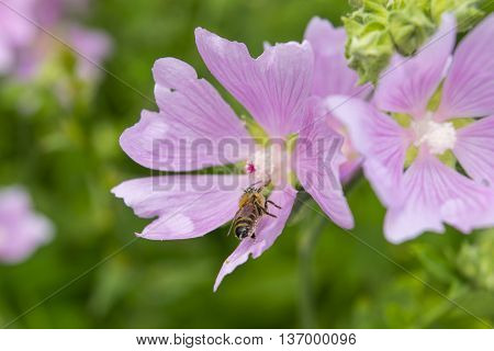 Pink mallow flowers with bee. Close up view of the working bee on a hollyhock flower. Blooming Hibiscus