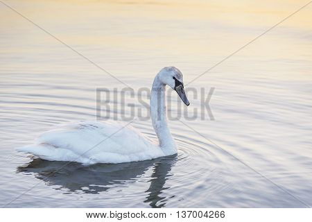 Swan in the sea on the sunset.