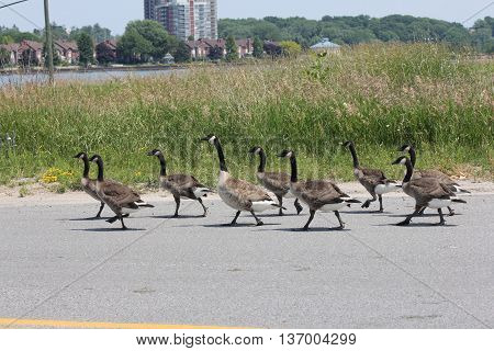 A gaggle of Canada Geese walking down the side of a paved roadway.