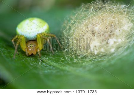 Misumena vatia crab spider with egg sac. A female spider in the family Thomisidae protecting eggs covered with rough silk