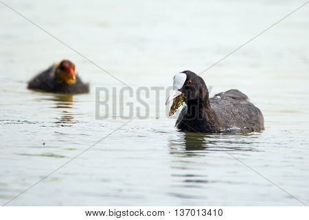 Eurasian Coot On Water