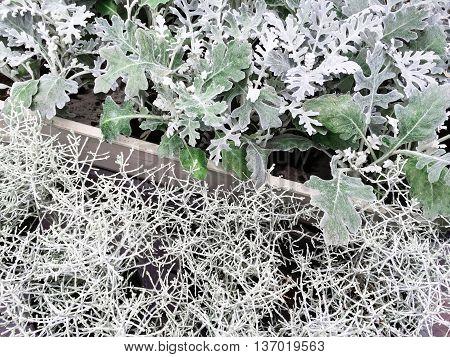 Decorative plants Centaurea Cineraria and Calocephalus Brownii. Scandinavian garden center.