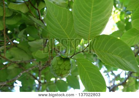 Cherimoya - also known as chirimoya, custard apple or Annona cherimola - growing in a tree in New Zealand.