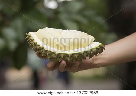 Durian on the hand ready to eat / Tropical Asian fruit