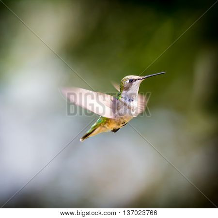 Ruby Throated Hummingbird , after its long migration from the south to the north. Hovering in space in a boreal forest in Quebec Canada.